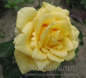 Роза 2009г