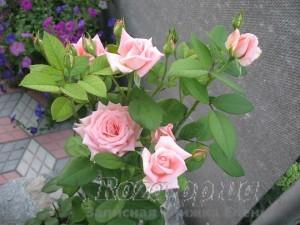 Розы 2010